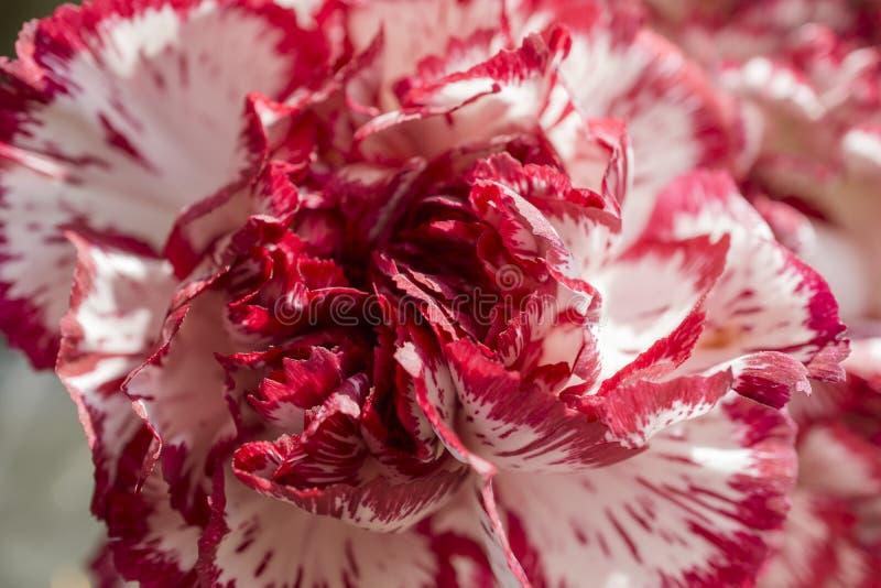 Exotisk vit och röd nejlika royaltyfri bild