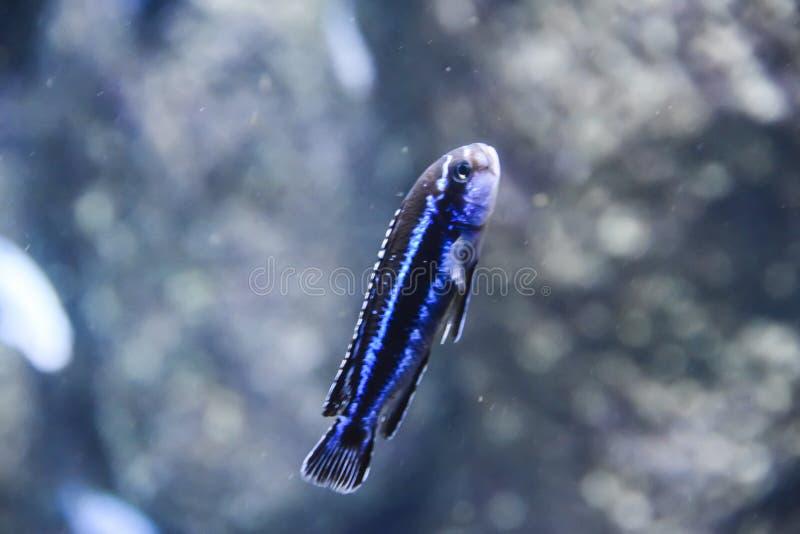 Exotiska fiskbad i akvariet på de gula blåtten för bakgrundskorall arkivfoto