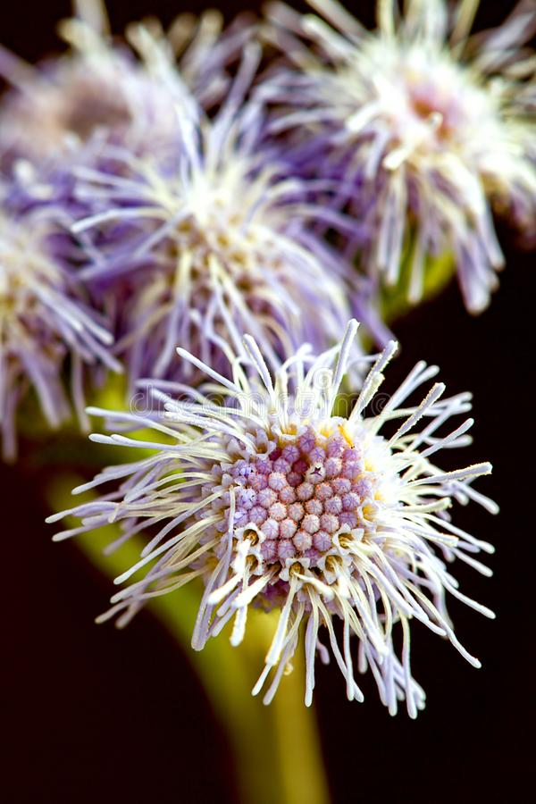 Exotiska h?rliga Andean violetta mistflowers fotografering för bildbyråer