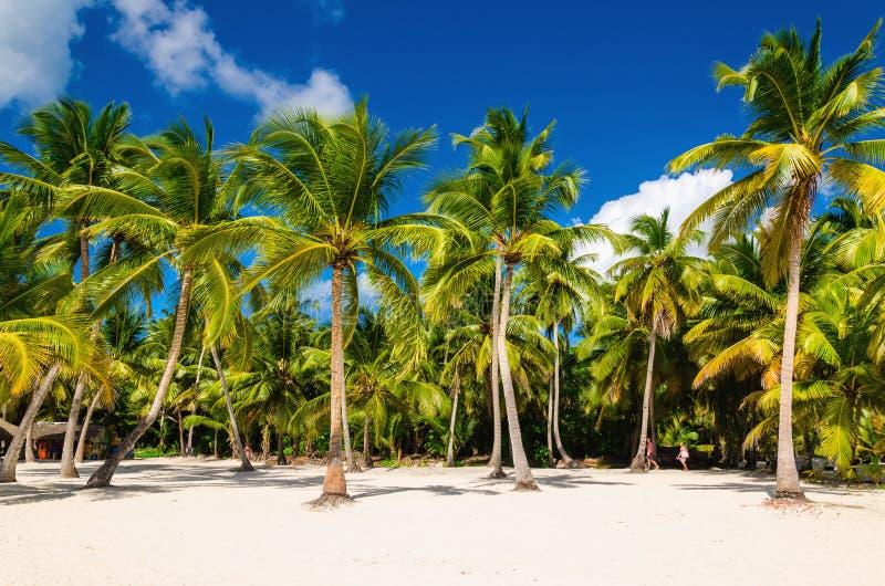 Exotiska höga palmträd på en lös strand mot det azura vattnet av det karibiska havet, Dominikanska republiken royaltyfri fotografi
