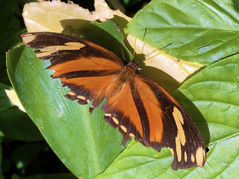 Exotiska och tropiska fjärilar i tropischen Schmetterlinge im Schmetterlingshaus för fjärilshus- eller exotischeund royaltyfri foto