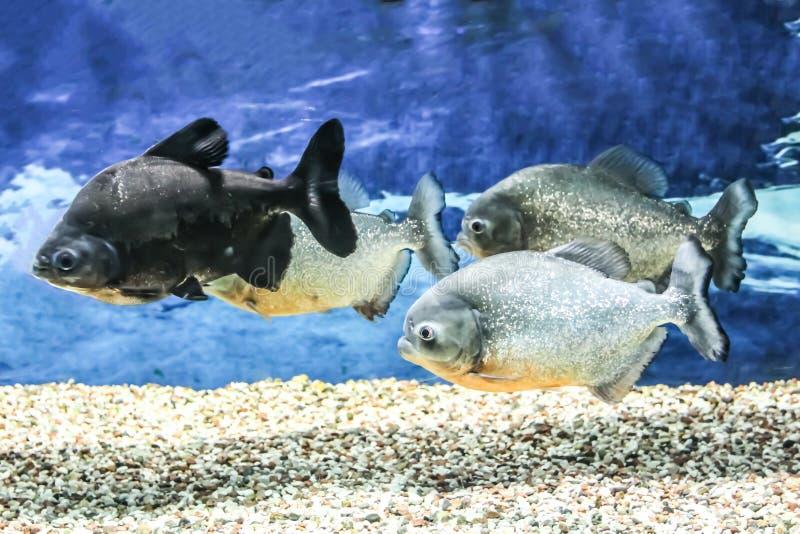 Exotiska s?tvattensfiskar i akvarium royaltyfria bilder