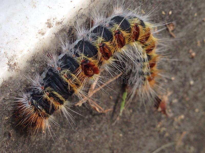 Exotiska spetsiga Caterpillar royaltyfria bilder