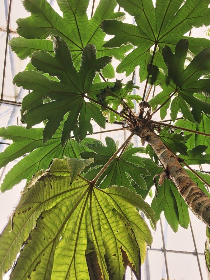 Exotiska tropiska träd i en botanisk trädgård mot en glasvägg, solljus för den nedersta sikten i ett växthus, växtsidor tände vid royaltyfria bilder