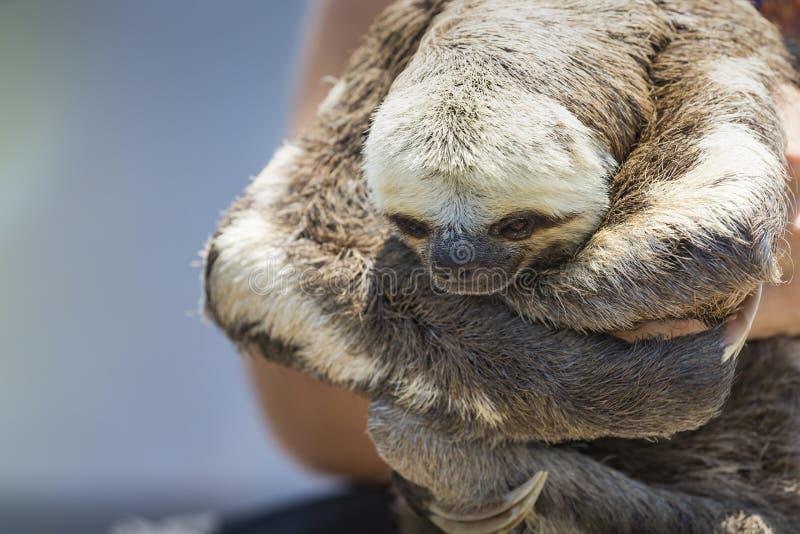 Exotiskt husdjur, enthroated sengångare (Bradypustridactylusen) arkivfoton