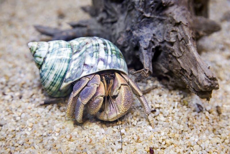 Exotiskt husdjur för eremitkrabba i akvarium arkivbilder