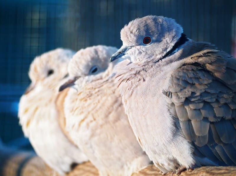 Exotiskt sammanträde för duvor på filialen arkivbilder