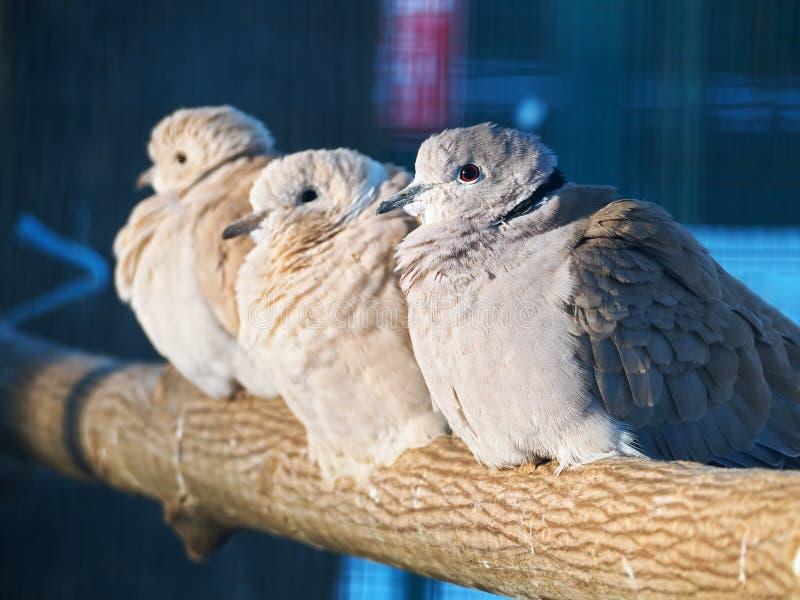 Exotiskt sammanträde för duvor på filialen på solen royaltyfri bild