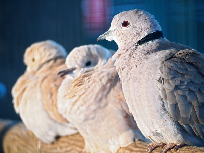 Exotiskt sammanträde för duvor på filialen på solen på blått tillbaka royaltyfri foto