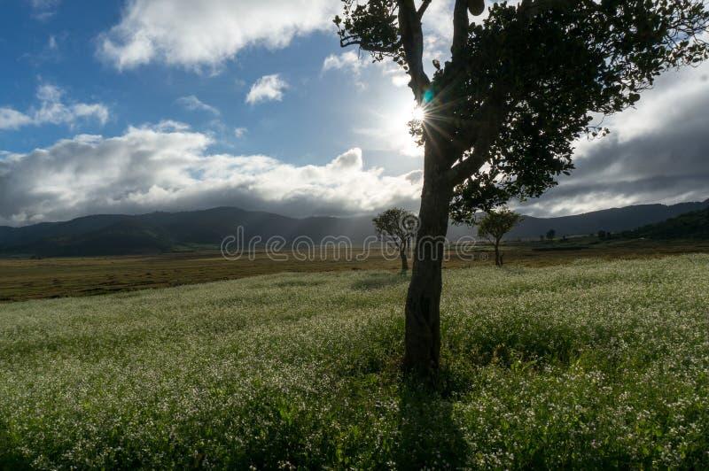 expõe ao sol e as árvores e o campo da mostarda com a flor branca em DonDuong - Dalat- Vietname fotos de stock royalty free
