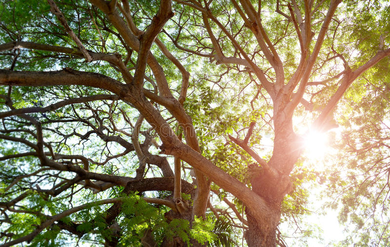Expand of big tree branch . Expand of big tree branch with sun evening lighting royalty free stock image