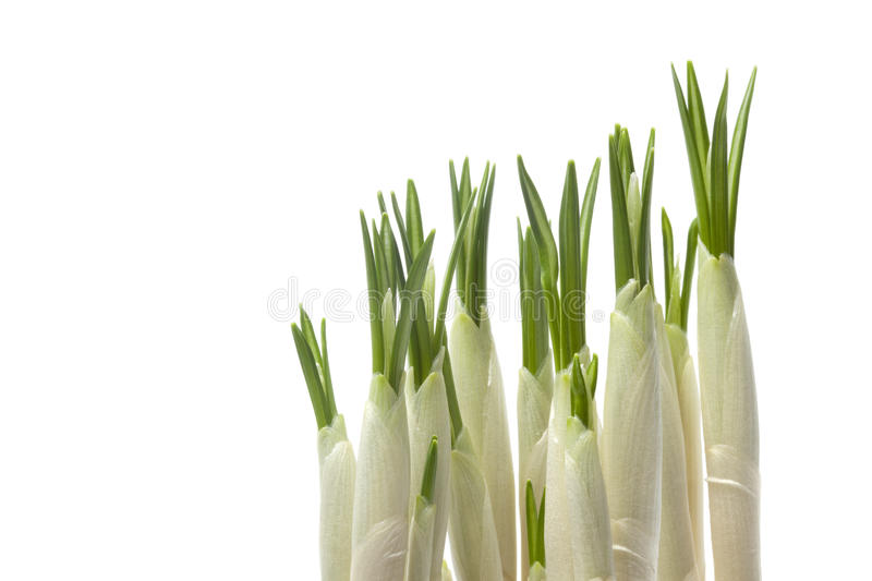 Download Expanding crocus bulbs stock photo. Image of spring, expand - 13483852