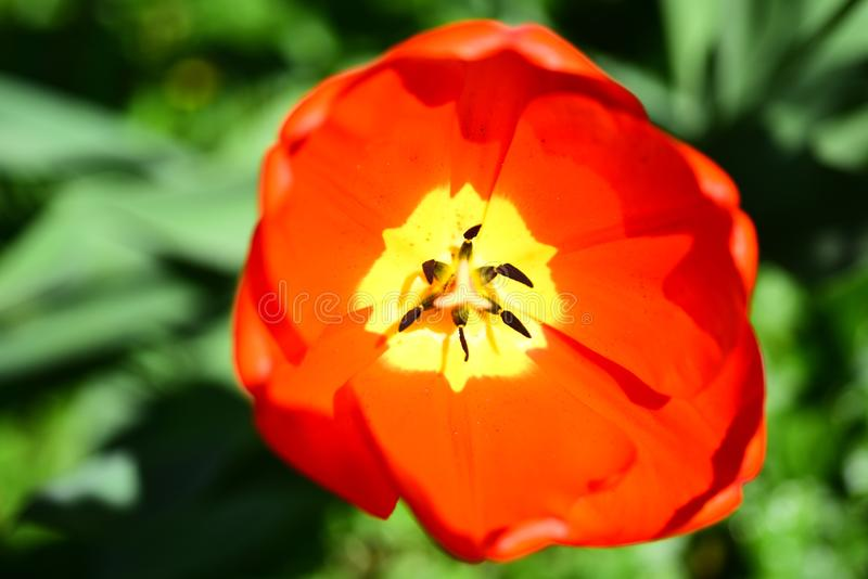 Expanding in the sun. Flowering tulip plant. Red flower on sunny day. Blossoming flower on spring field. Red tulip in. Full bloom. Spring or summer blossom stock photo