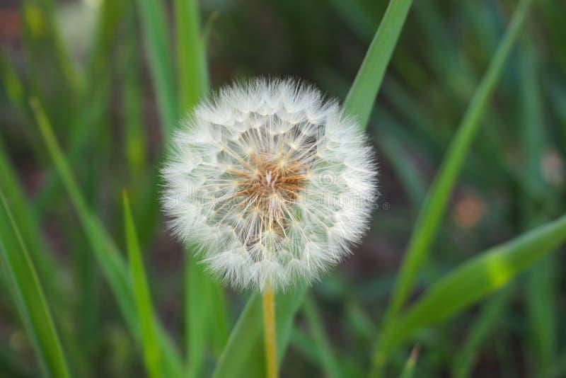 Dandelion, plant for everything, ivars, lerida royalty free stock photography