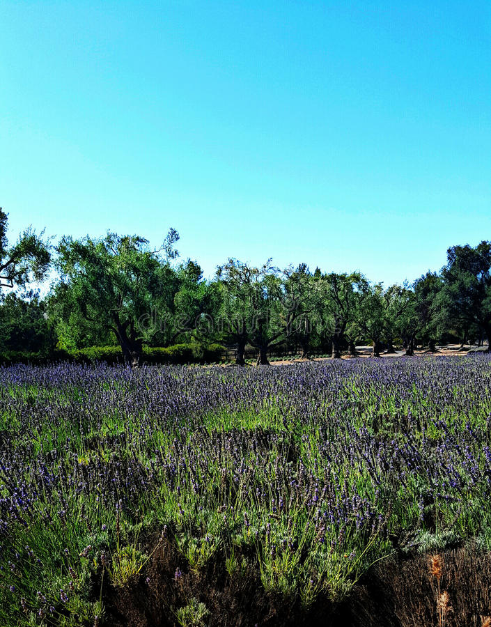 Expansive field of fragrant lavender near Solvang, California stock photo