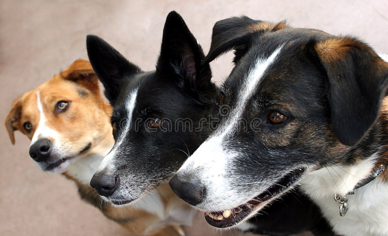 Expectant canine trio stock images