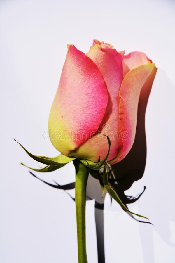 Expectations for love, symbol. Beautiful pink rose on an elegant neutral background, suggesting expectations for love stock photos