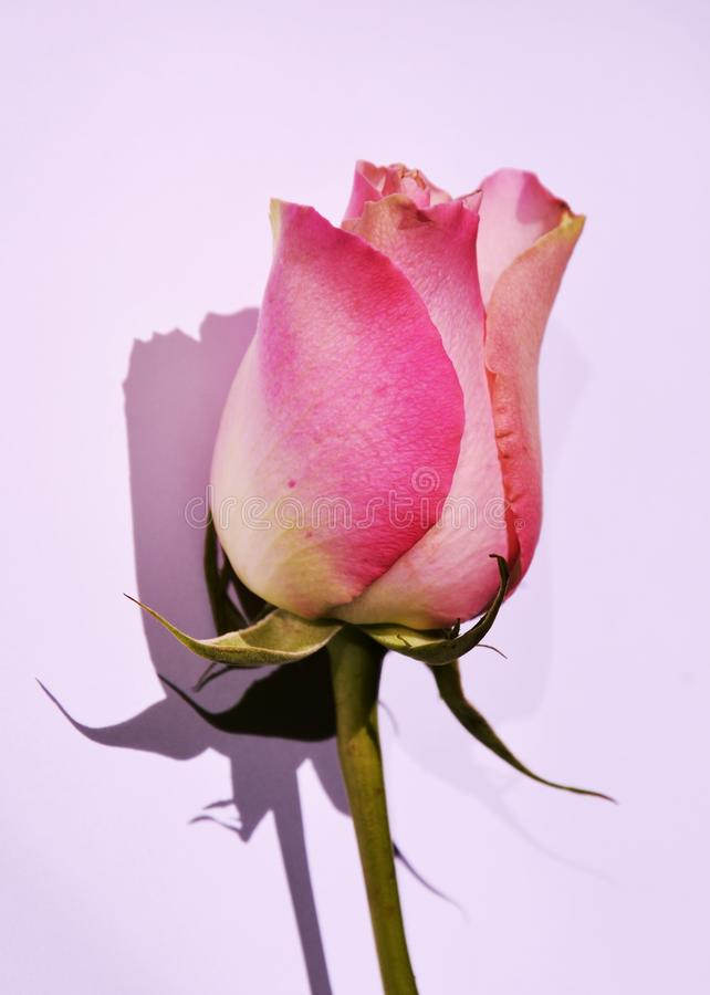 Expectations, symbol. Beautiful pink rose on an elegant neutral background, suggesting expectations for love royalty free stock photo