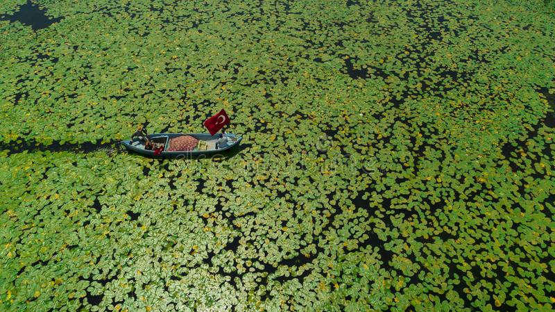 Boat in water lilies aerial. Aerial view of a boat traveling on water through a crowded mass of water lilies stock images
