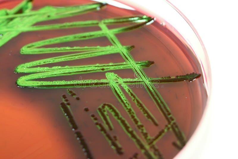 Experiência da ciência - cultura das bactérias imagens de stock
