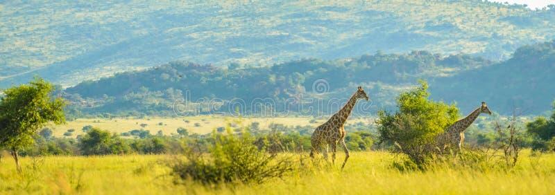 Experiencia surafricana verdadera aut?ntica del safari en bushveld en una reserva del juego imágenes de archivo libres de regalías