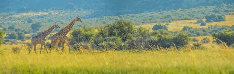 Experiencia surafricana verdadera aut?ntica del safari en bushveld en una reserva del juego fotos de archivo libres de regalías