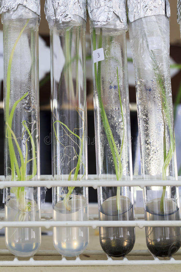 Experiment of plant tissue culture in the laboratory stock image