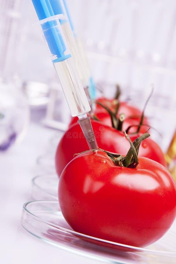 Experimentação com os tomates fotos de stock royalty free