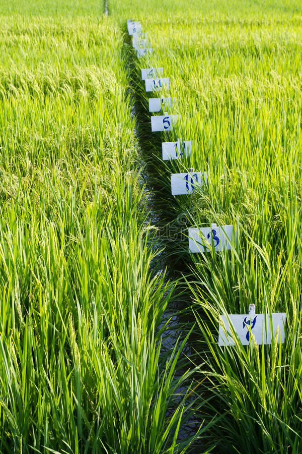 Experimental rice farm. ( transgenic test stock photography