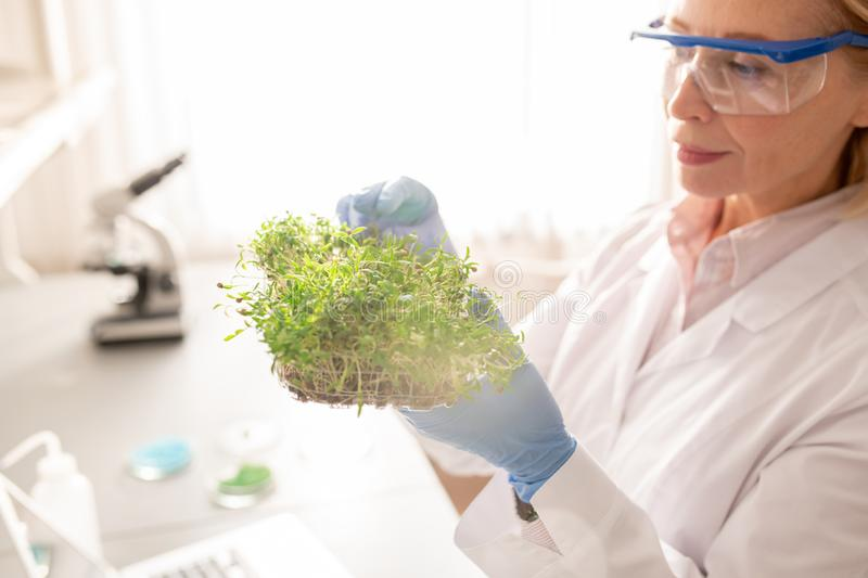 Experimenting with seedling in laboratory. Concentrated experienced agricultural scientist in protective goggles and gloves experimenting with seedling in royalty free stock image
