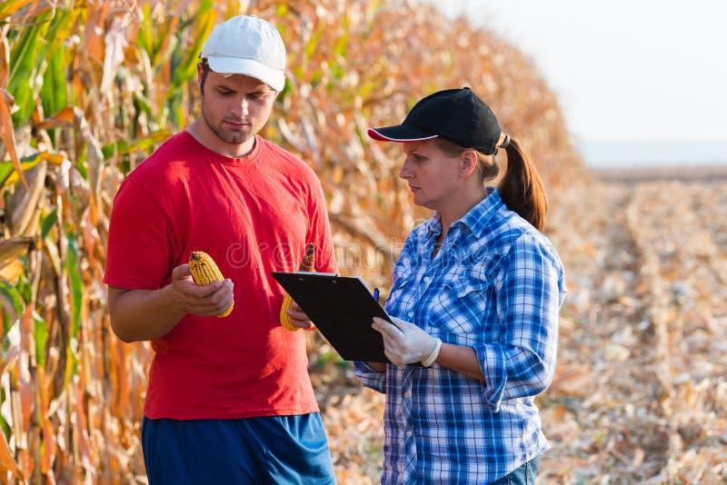 Expert agricole inspectant la qualité du maïs photo stock