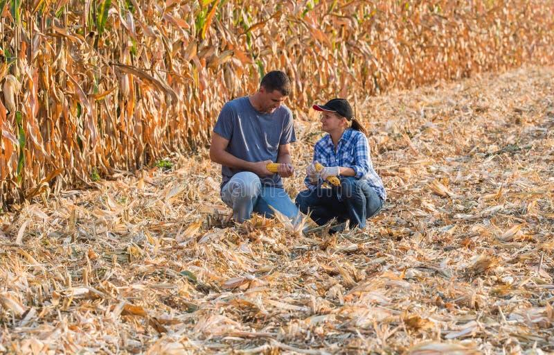 Expert agricole inspectant la qualité du maïs images stock