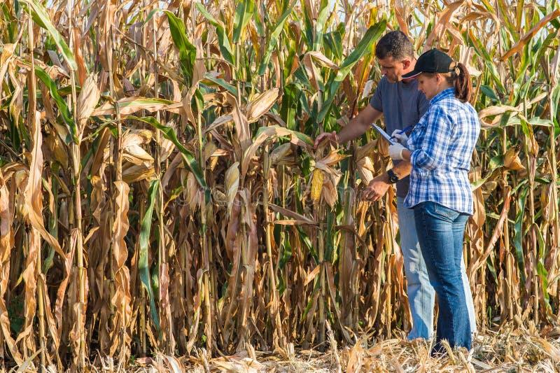 Experto agrícola que examina la calidad del maíz imagen de archivo libre de regalías