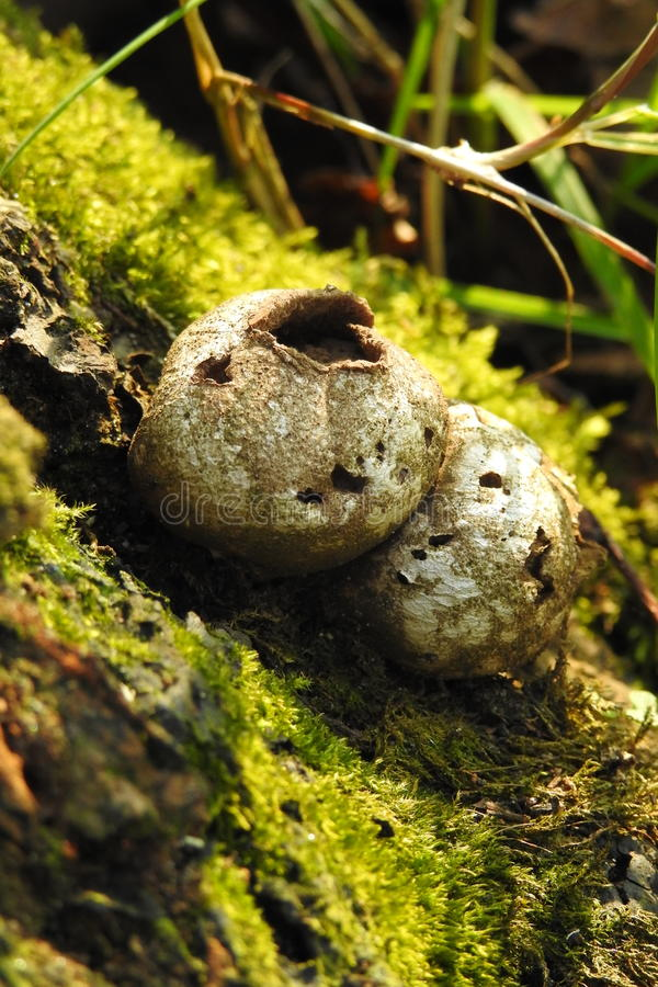 Exploded puffball mushroom. These little puffballs exploded after the rains. Puffballs are edible in the U.K but can be confused with young emerging mushrooms royalty free stock images