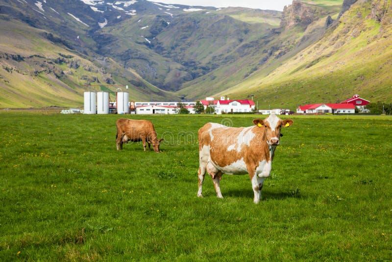 Exploitation laitière islandaise photographie stock libre de droits