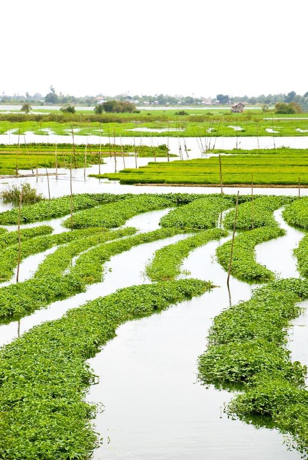 Exploração agrícola 02 do espinafre da água fotografia de stock royalty free