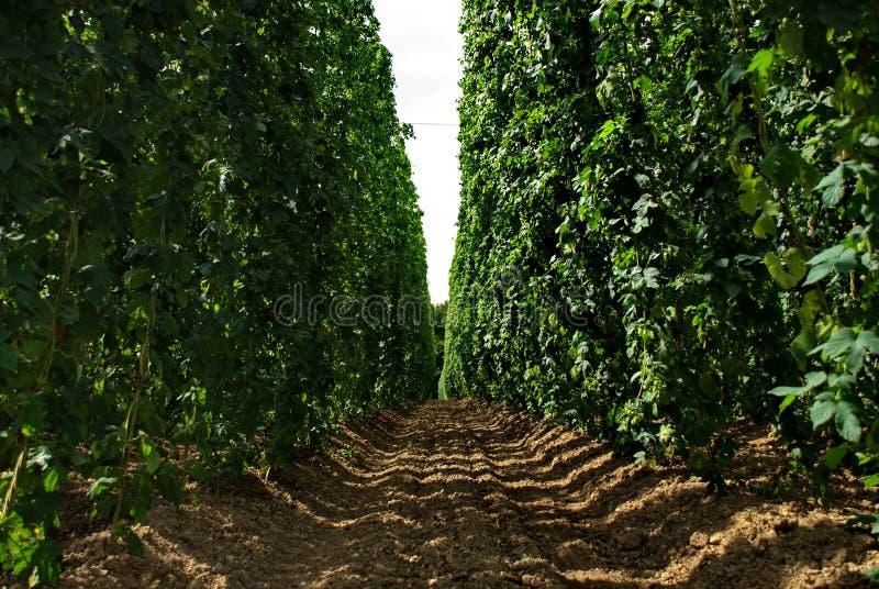 Exploração agrícola #16 dos lúpulos imagens de stock