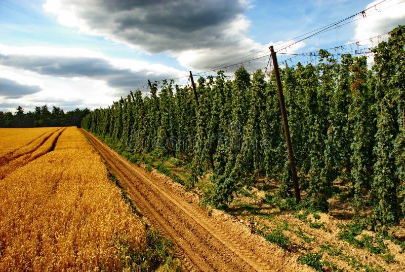 Exploração agrícola #25 dos lúpulos imagem de stock royalty free
