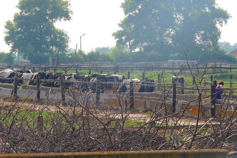 Exploração agrícola com vacas imagem de stock royalty free