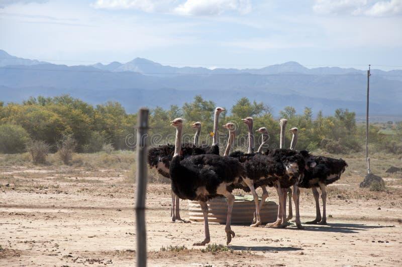 Exploração agrícola da avestruz fotos de stock royalty free