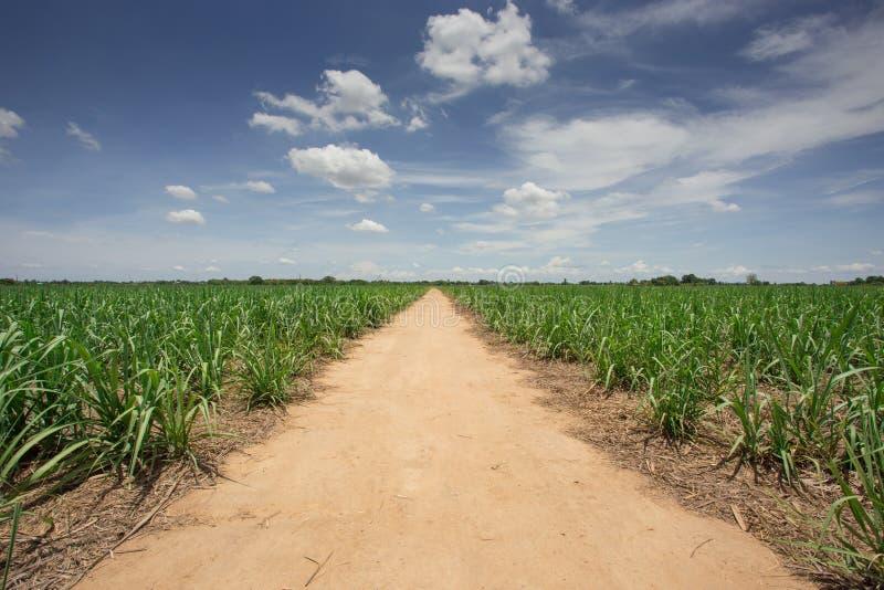 Exploração agrícola da cana-de-açúcar com céu azul imagens de stock