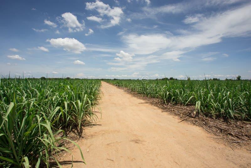 Exploração agrícola da cana-de-açúcar com céu azul imagem de stock royalty free