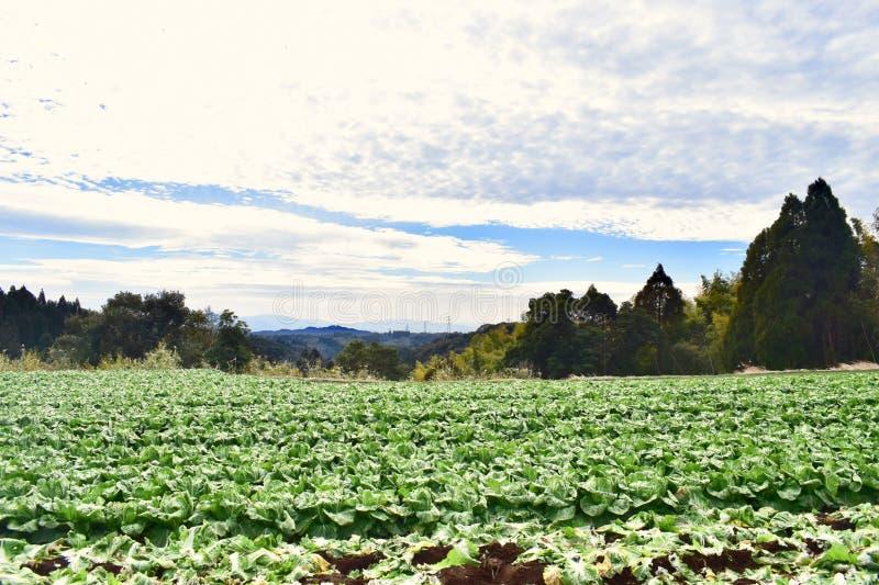 Exploração agrícola da couve em Japão Kagoshima fotos de stock royalty free