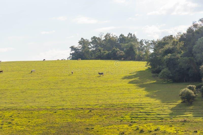 Exploração agrícola da criação de animais de gado na beira Brasil-Uruguai 05 fotografia de stock