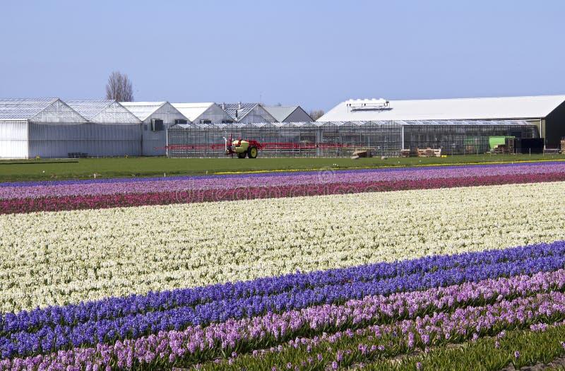 Exploração agrícola da flor na Holanda fotos de stock
