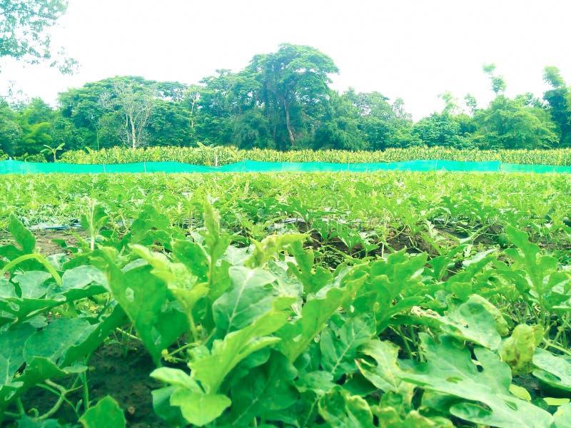 Exploração agrícola da melancia perto da exploração agrícola do milho fotos de stock