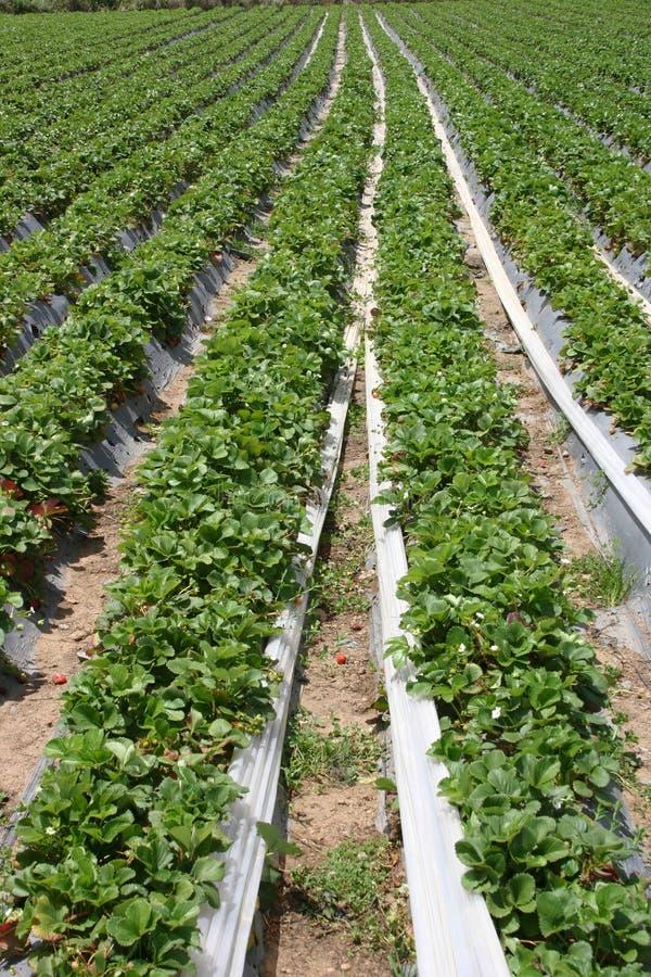 Exploração agrícola da morango imagem de stock
