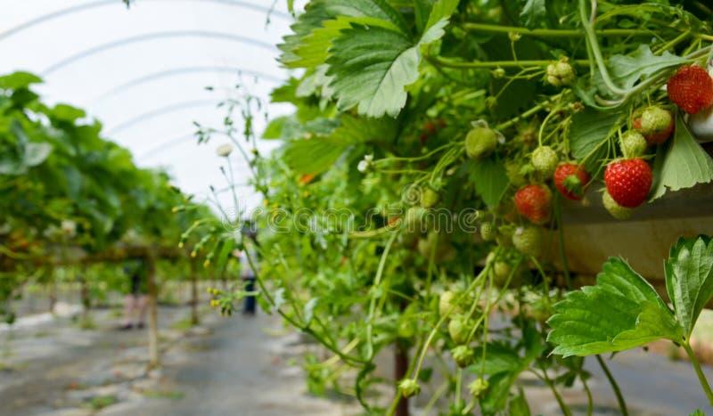 Exploração agrícola da morango foto de stock royalty free