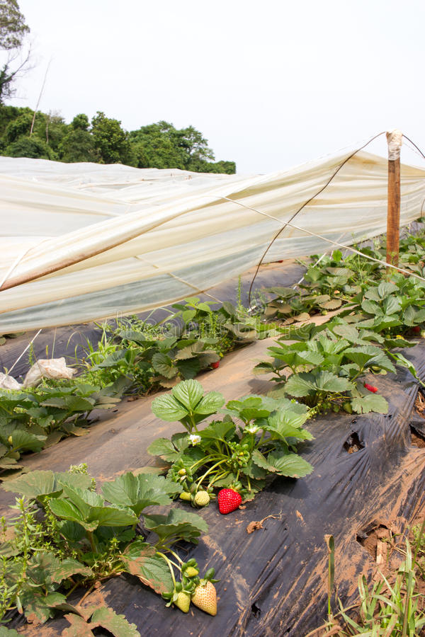 Exploração agrícola da morango com o filme plástico preto fotos de stock royalty free