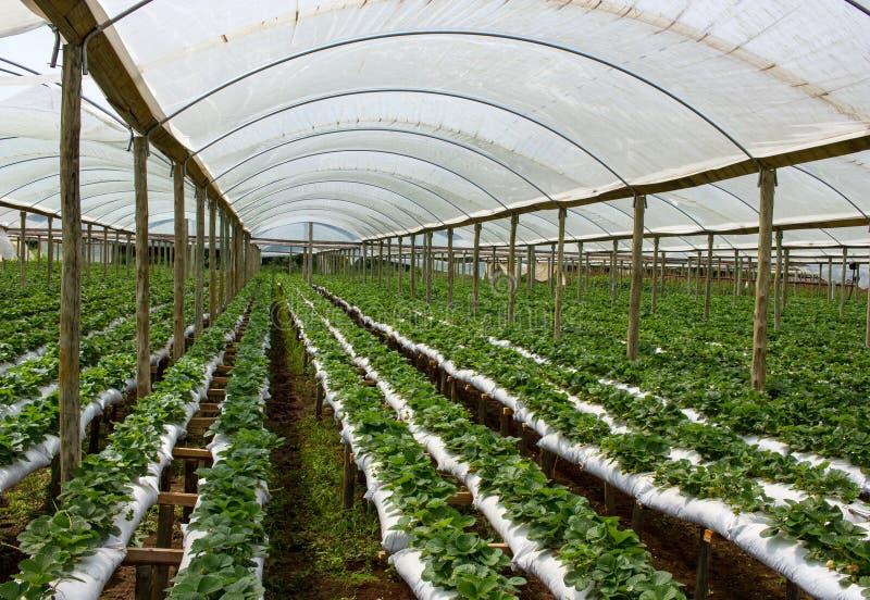 Exploração agrícola da morango dentro da casa verde imagens de stock